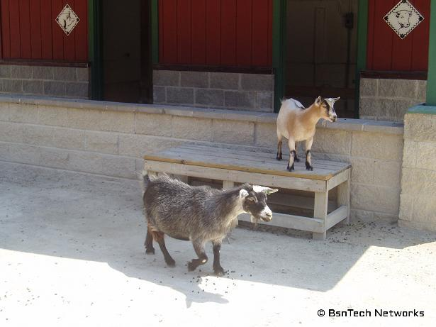 Billy Goats!