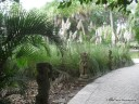 Landscaping at the Ringling Museum