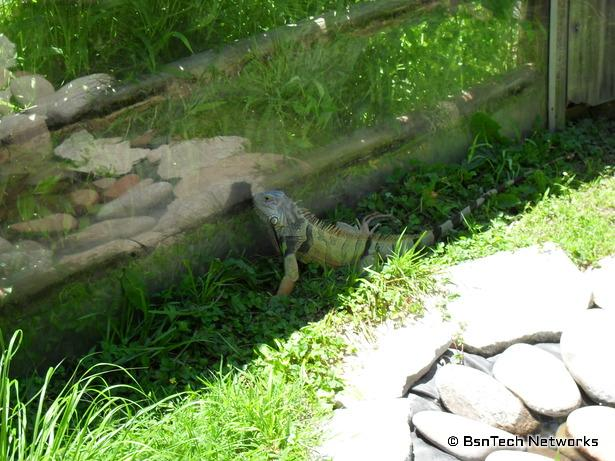 Iguana at Grant's Farm