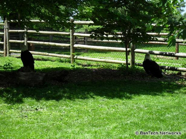 Bald Eagles at Grant's Farm