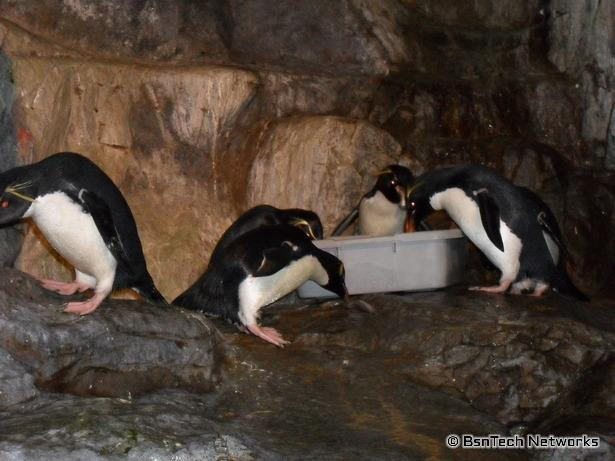 Penguin Feeding at St. Louis Zoo