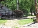 Elephant at Grant's Farm