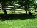 Bald Eagles at Grant's Farm