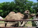 Llamas at Grant's Farm