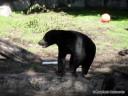 Bear at St. Louis Zoo