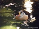 Floating Penguin at St. Louis Zoo