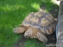 Large Tortoise at Grant's Farm