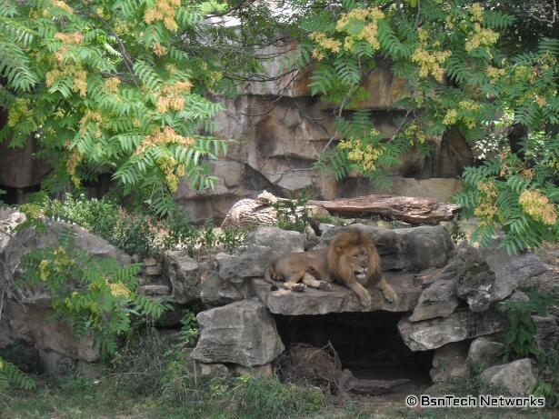 Lion at St. Louis Zoo
