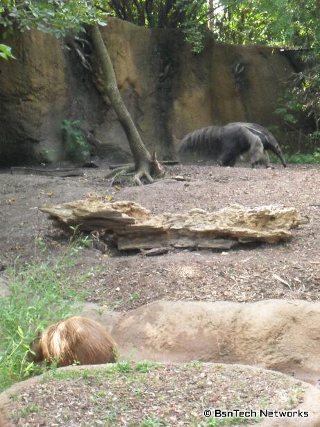 Giant Anteater at St. Louis Zoo