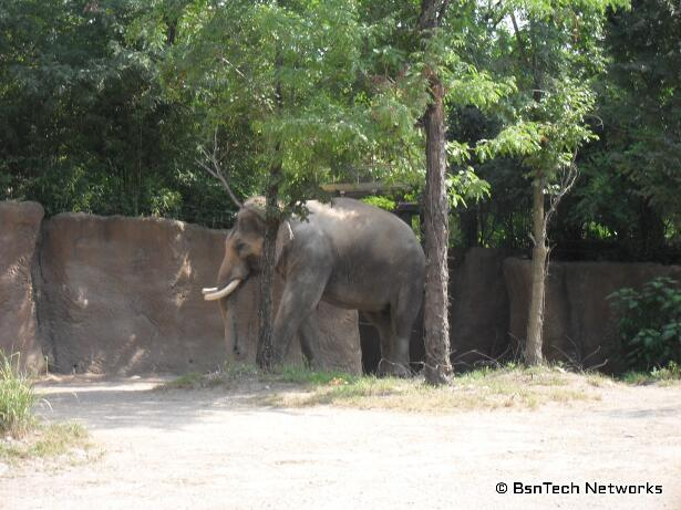 Asian Elephant at St. Louis Zoo