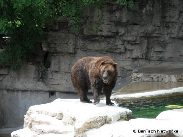 Grizzly Bear at St. Louis Zoo