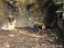 Bushdog at St. Louis Zoo