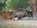 Black Rhino at St. Louis Zoo
