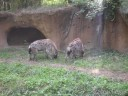 Spotted Hyenas at St. Louis Zoo