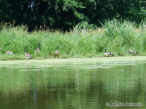 Geese along the Lake