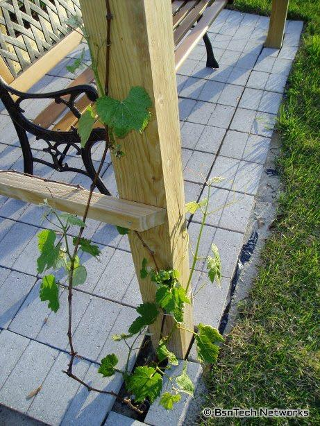 Concord Seedless Grape Vine