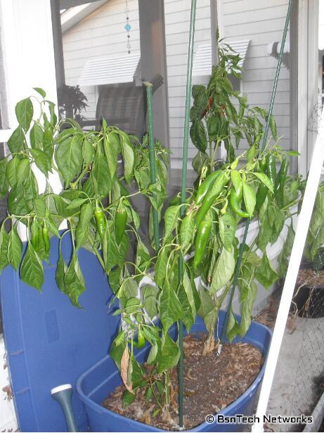 Anaheim Hot Peppers