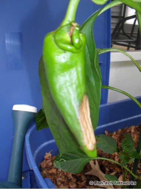 Anaheim Hot Pepper