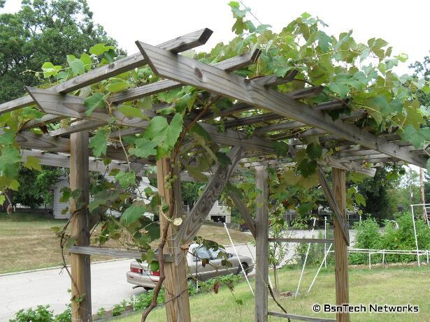 First potatoes raccoons corn tomatoes lettuce bsntech networks - How to build a grape vine support the natural roof ...