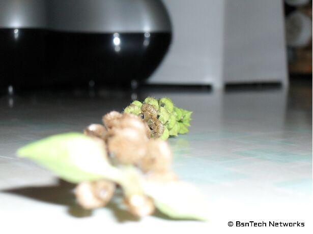 Basil Flower Pod
