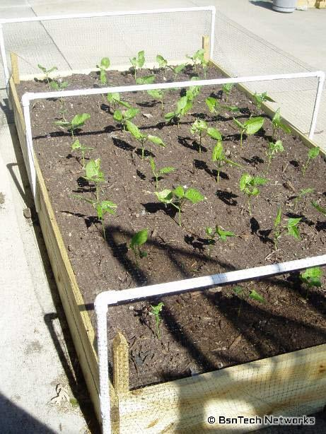 how to grow green beans in a small space