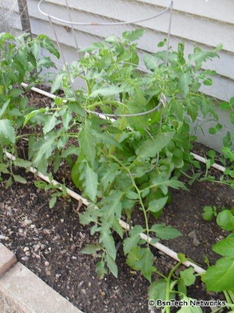 Best Boy Tomato Plant