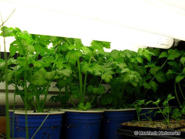 Ventura Celery Plants