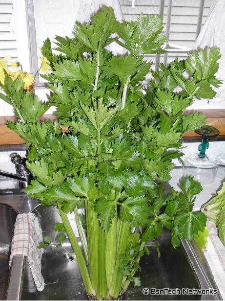 Venturay Celery