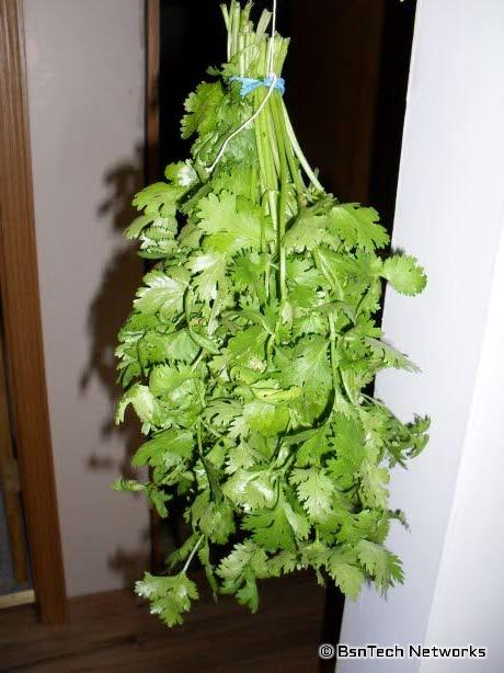 Bundled Cilantro