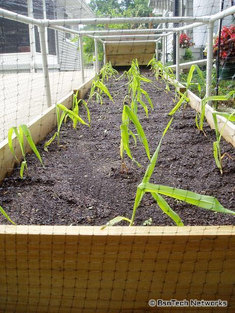 Corn in Planter