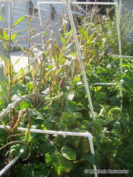 Front Garden Corn