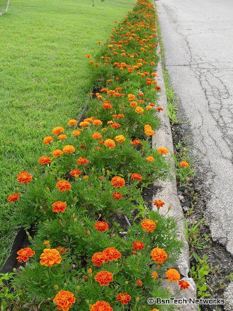 Marigolds in Flowerbed