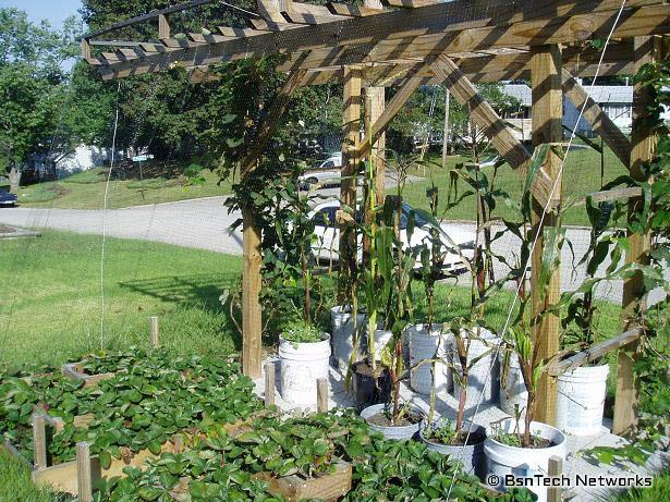 Grape Arbor, Strawberries, and Corn in buckets