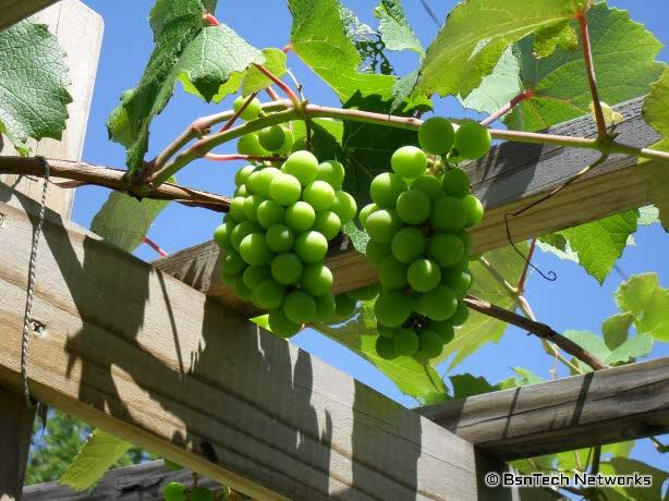 Flame Bunch Grapes