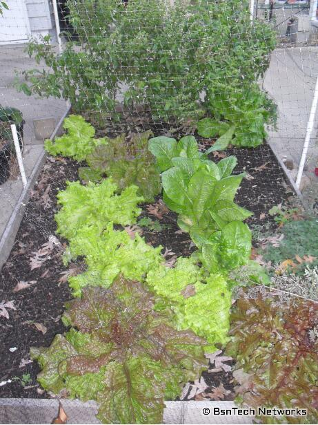 Assorted Lettuce