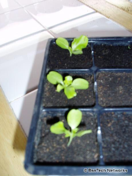 Lettuce 3-20-09
