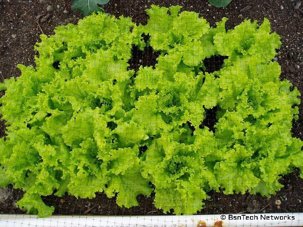 Black Simpson Lettuce