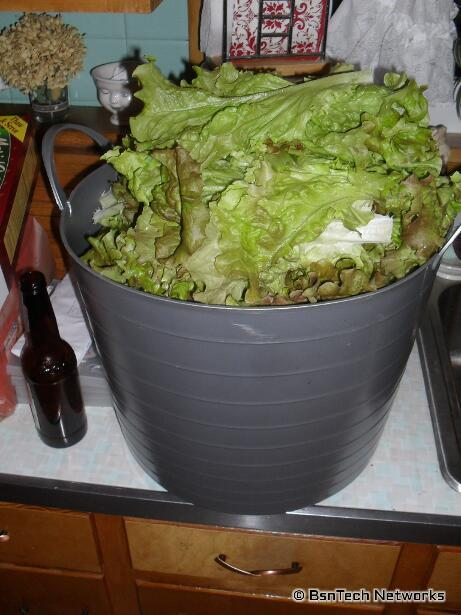 Lettuce Harvest