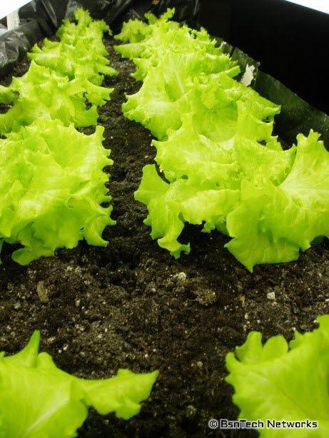 Lettuce Under Lights