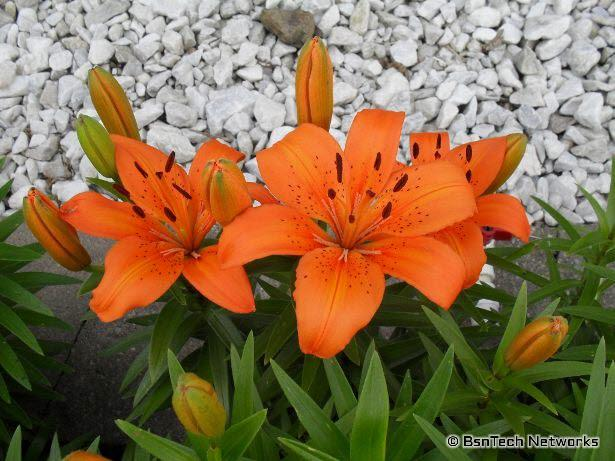 Orange Day Lillies