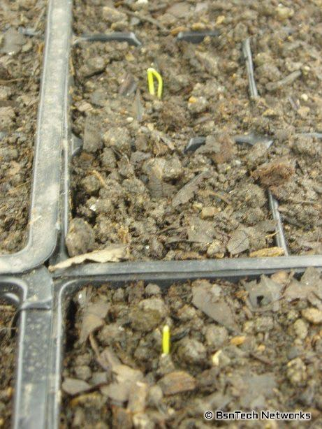 Copra Onion Sprouts