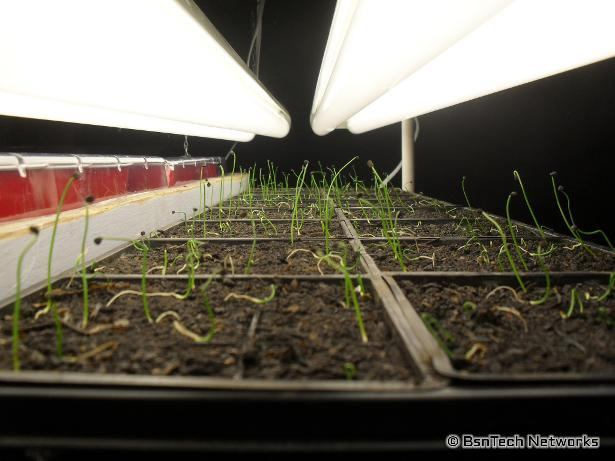 Copra Onion Seedlings