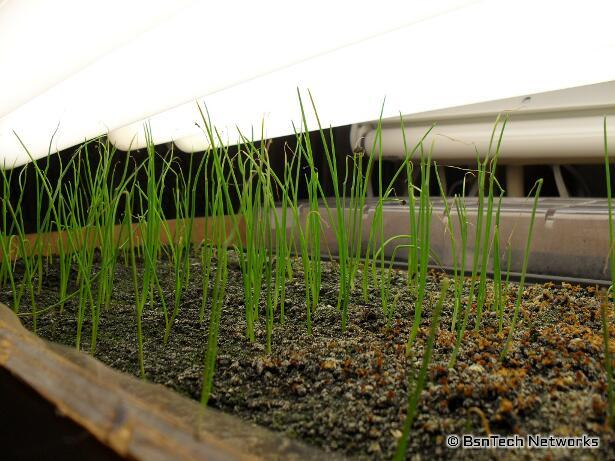 Copra Onion Seedlings
