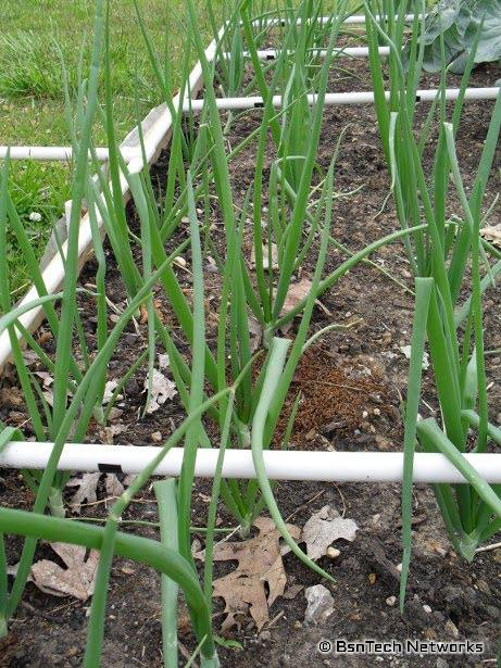 Copra Onion Plants