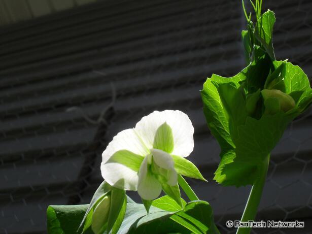 Cascadia Snap Peas Flower
