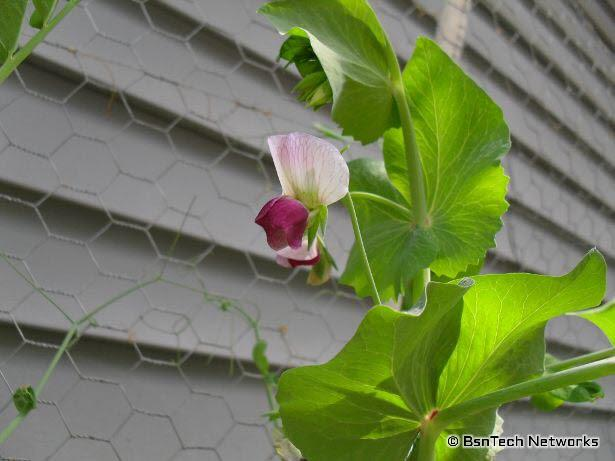 Dwarf Gray Sugar Pea Bloom