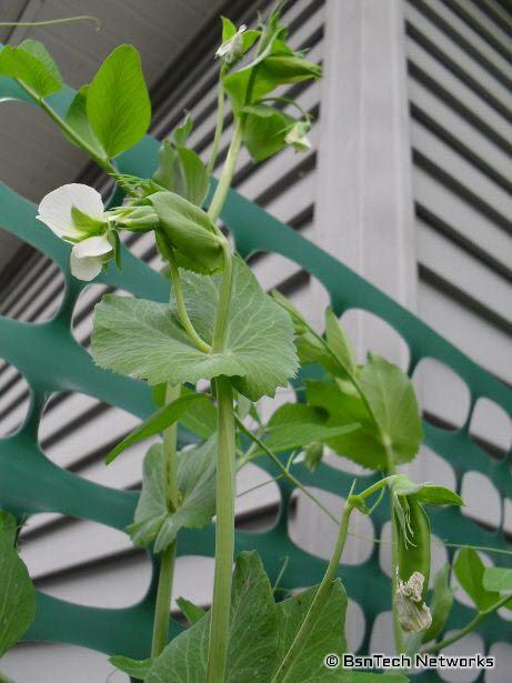 Super Sugar Snap Pea Blooms