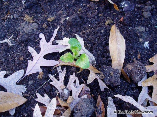 Kennebec Potato Growing