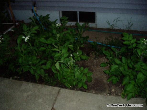 Potatoes in Side Garden