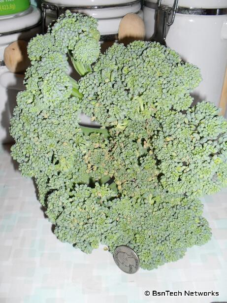 Premium Crop Broccoli
